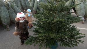 Заместитель мэра Запорожья оценил самую дешевую новогоднюю елку в 70 гривен