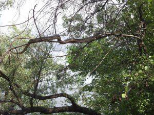 В Запорожье на Хортице туристов впечатляют внушительных размеров змеи