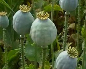 В Запорожье начинают борьбу с наркотическими растениями