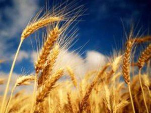 В области посеяли все ранние зерновые