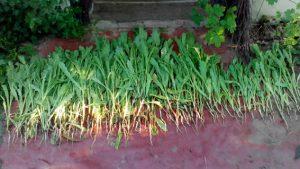 Запрещенные растения продолжают находить у запорожцев