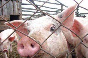В Запорожской области закрывают фермы из-за угрозы африканской чумы свиней