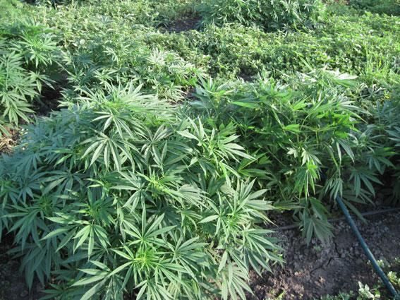 Житель Запорожской области выращивал в теплице коноплю - ФОТО
