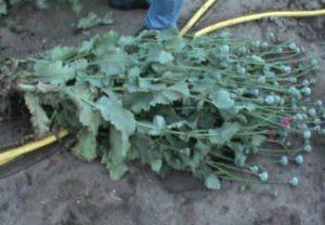 В Мелитополе собрали урожай мака и конопли