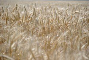 Цифра дня: 29,1 ц/га – такая средняя урожайность по Запорожской области
