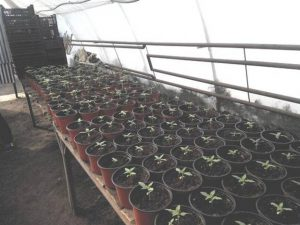 Житель запорожского села вырастил 362 куста конопли