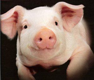 В четырех областях Украины обнаружены вспышки африканской чумы свиней
