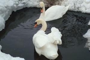 Как на Житомирщине освобождали замерзших лебедей  - опубликовано видео