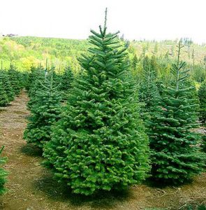 Запорожские елки должны быть в законе