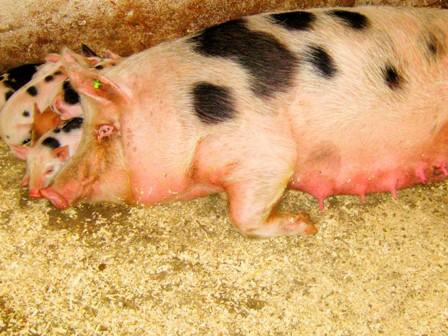 Запорожские колонии зарабатывают средства на содержание заключенных, разводя свиней, коз и нутрий