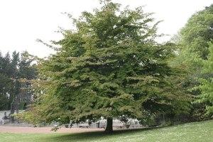 На этой неделе в Бердянске бесплатно раздадут саженцы железного дерева