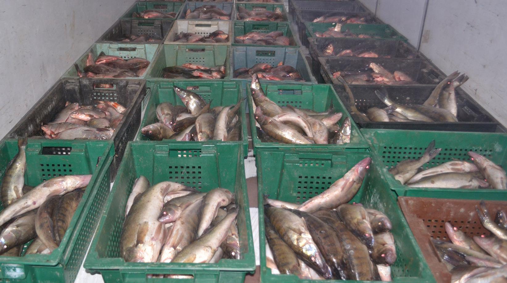 Рыбинспекция и патрули задержали запорожца, перевозившего 650 кг нелегальной рыбы