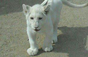 Белый львенок, обитающий в бердянском зоопарке, начал показывать