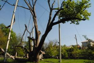 Запорожский дуб «тает» из-за бюрократии
