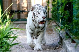 В бердянском зоопарке бенгальская тигрица родила троих малышей