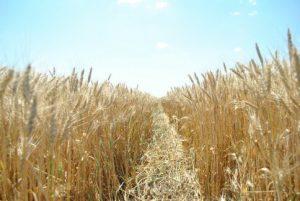 Цифра дня: Аграрии намолотили первый миллион тонн зерна