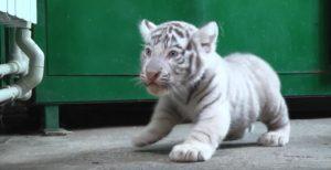 В Бердянском зоопарке впервые показали бенгальских тигрят и раскрыли тайну их имен - ВИДЕО