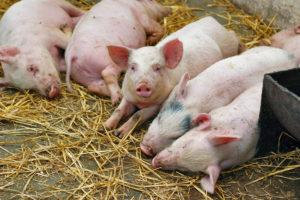 В Запорожском регионе не выявлены случаи африканской чумы свиней