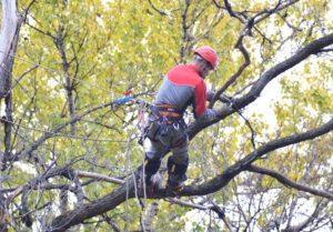 Фірма, яка виграла торги по обрізці дерев, відмовилася проводити роботи