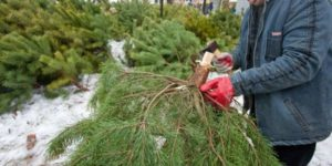 В Запорожской области лесничий воровал елки из заповедника - ФОТО