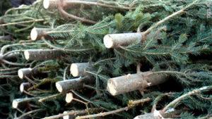 За самовольную вырубку елок запорожцам грозит штраф от 800 до 2200 гривен