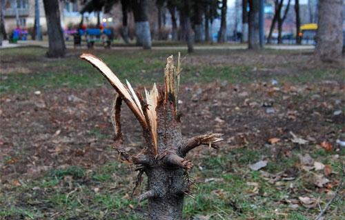В Запорожье хвойные деревья пострадали от действий вандалов