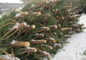 Из бюджета города заплатят почти 200 тысяч гривен на утилизацию елок