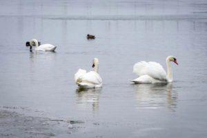 В Запорожье осталась зимовать стая лебедей - ФОТО