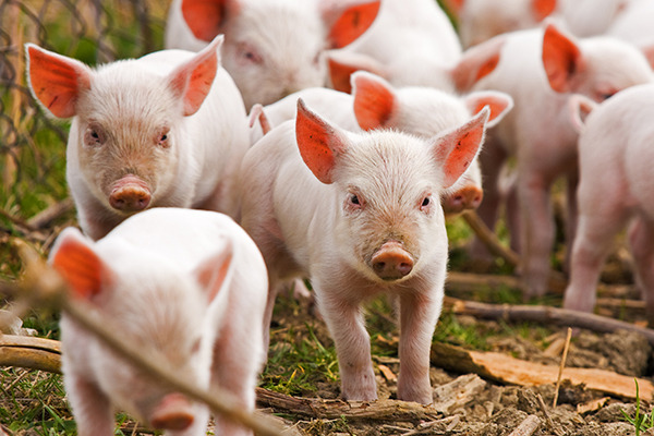 В Запорожье официально подтвердили африканскую чуму свиней