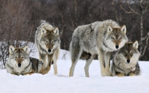 На окраине Запорожья горожане заметили стаю волков