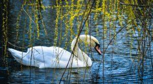 В запорожской «Дубовке» вандалы убили лебедя