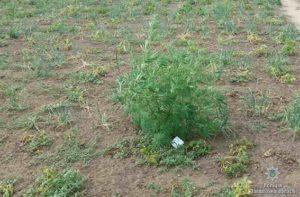 Житель Запорожской области выращивал дома запрещенное растение - ФОТО