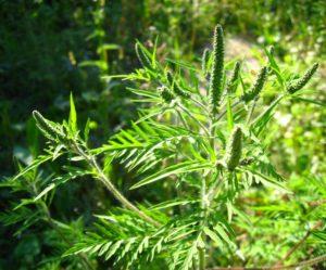 Время выживать: в Запорожье борются с амброзией в то время, как аллергологи видят опасность в подсолнечнике
