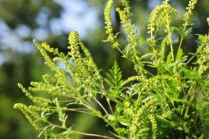 В Запорожье уменьшилась в два раза концентрация пыльцы амброзии