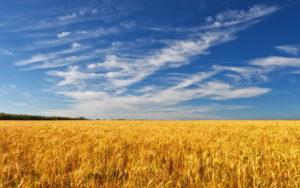 В Запорожской области продали урожай пшеницы, засеянной на самовольно захваченной земле