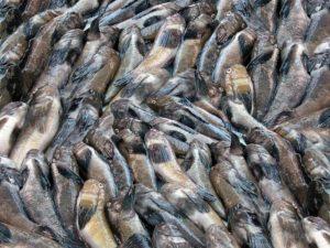 В Бердянске капитан рыболовецкого судна нелегально выловил из моря 4 тонны бычка на 129 тысяч гривен - ФОТО