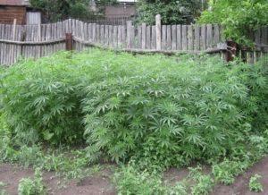 У жителя  Запорожской области обнаружили во дворе дома «конопляный сад» - ФОТО