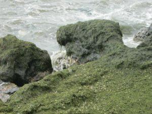 В Запорожской области на берег Азовского моря выбросило тонны водорослей - ФОТО