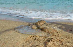 В Запорожской области на берег Азовского моря выбросило самую большую медузу Черного и Средиземного морей- ФОТО, ВИДЕО