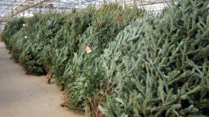 Стало известно, когда в Запорожье начнут продавать елки - АДРЕСА