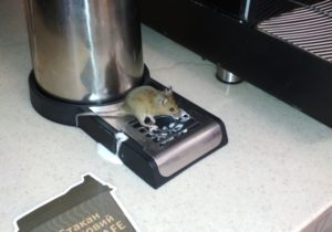 В Запорожской области в кафе на АЗС мышь лакомилась молоком - ФОТО