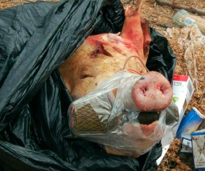 ВЗапорожском парке отыскали свиную голову сгранатой впасти