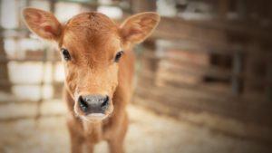 Запорожские фермеры получат финансовую помощь на выращивание крупного рогатого скота