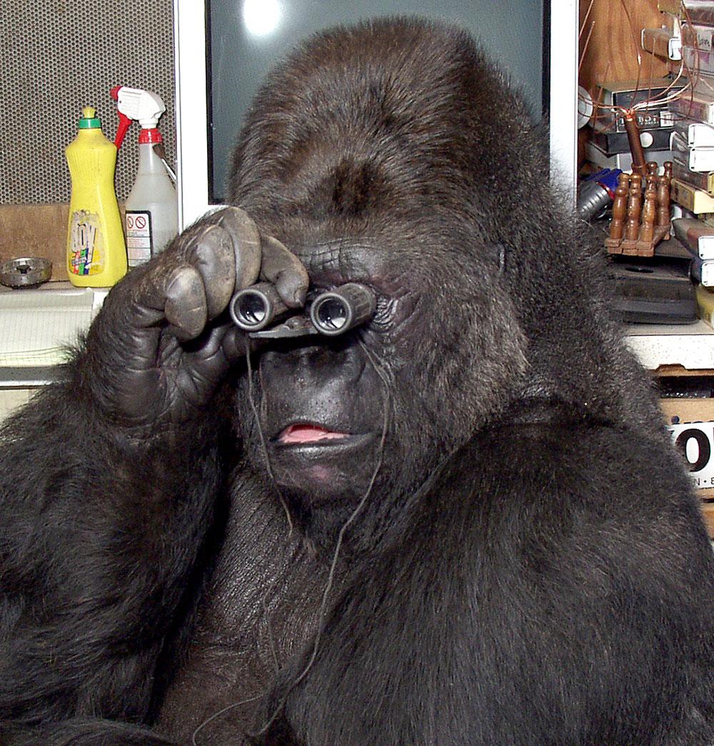 В Америке умерла известная горилла, освоившая язык жестов