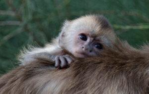 В бердянском зоопарке малютка-капуцин впервые попробовал фрукты - ВИДЕО
