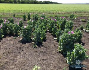 В Запорожской области полицейские обнаружили наркопосевы в огородах у пенсионеров – ФОТО