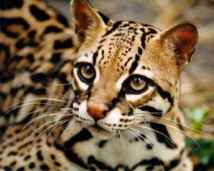 В частном запорожском зоопарке появилась уникальная леопардовая кошка - ФОТО