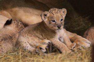 В запорожском зоопарке родились берберийские львята - ФОТО