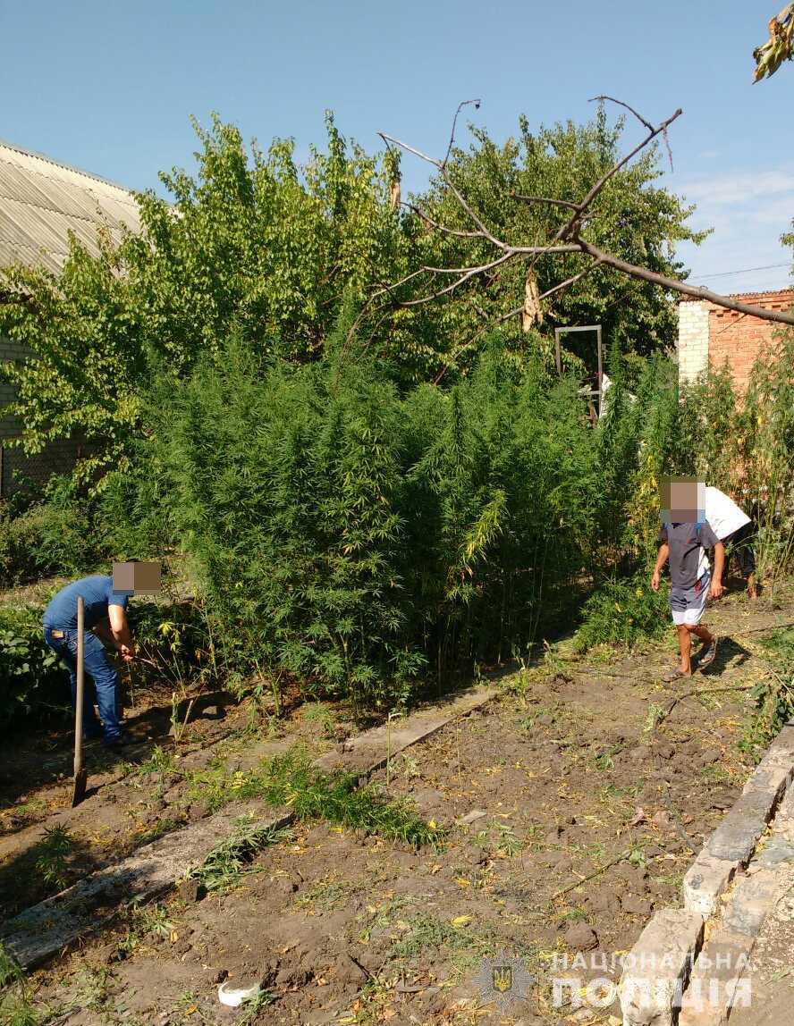 У жителя Запорожской области во время обыска обнаружили 255 кустов конопли - ФОТО