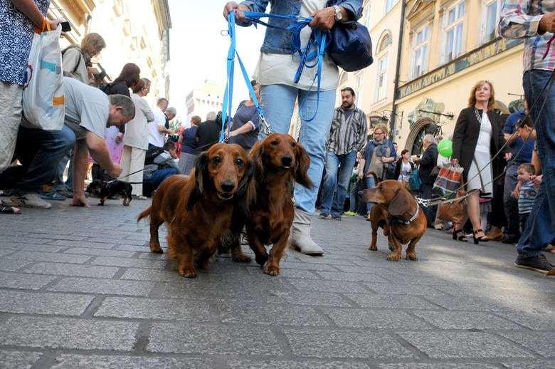 В Запорожье владельцы такс встретятся в центре города, чтобы провести шествие со своими любимцами